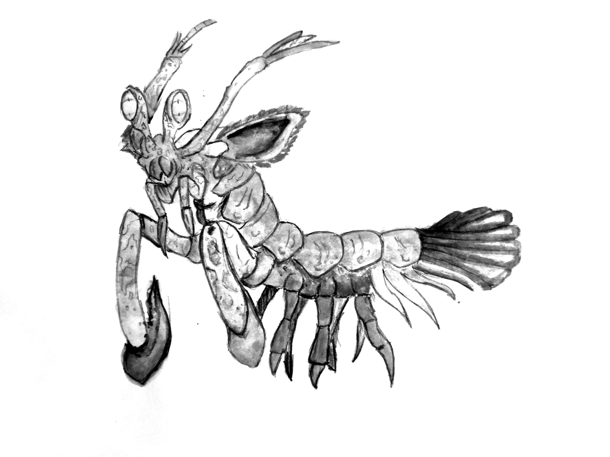 mantis shrimp picture.jpg